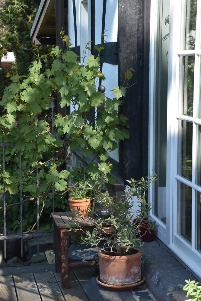 Wilder Wein im Gartentraum