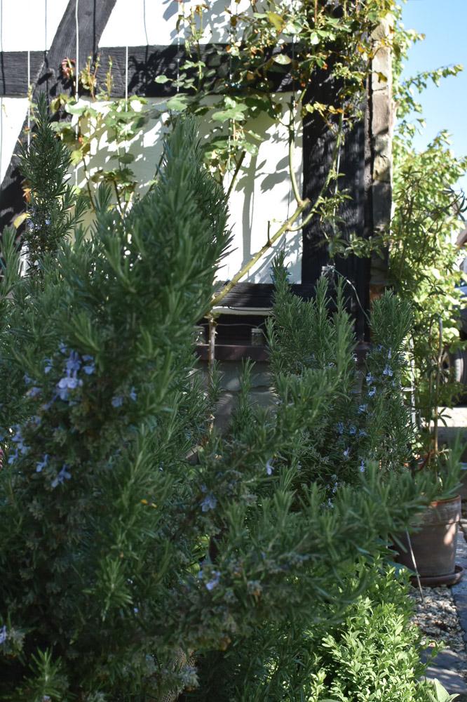 Rosmarin Stamm im Garten