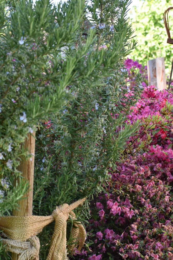 RosmarinStauden im Gartentraum