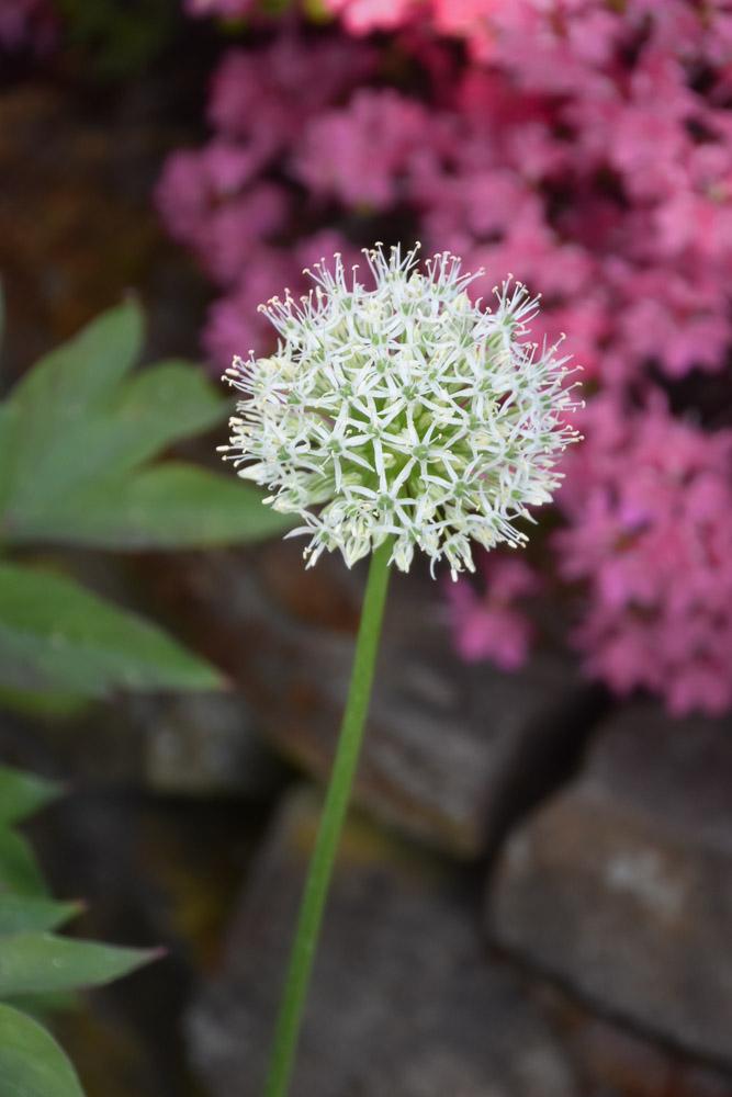 weiße Allium im Garten