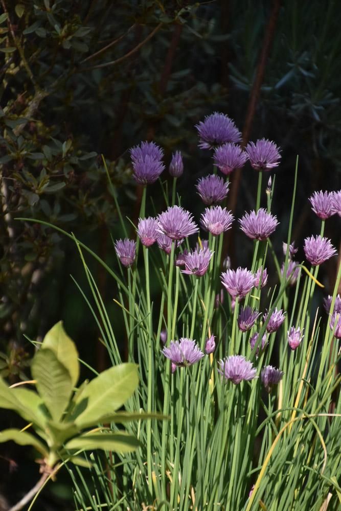 blühender Schnittlauch im Garten