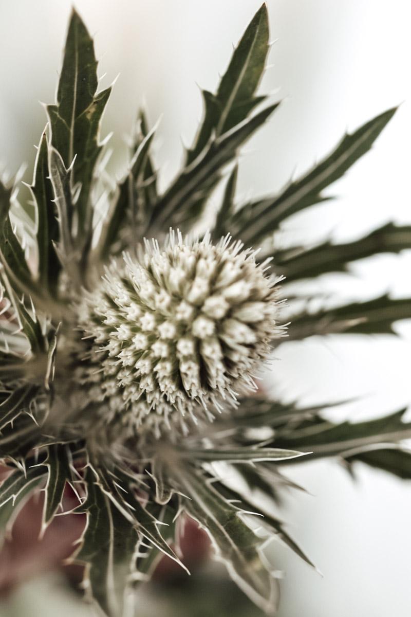 Distel als beliebte Schnittblume