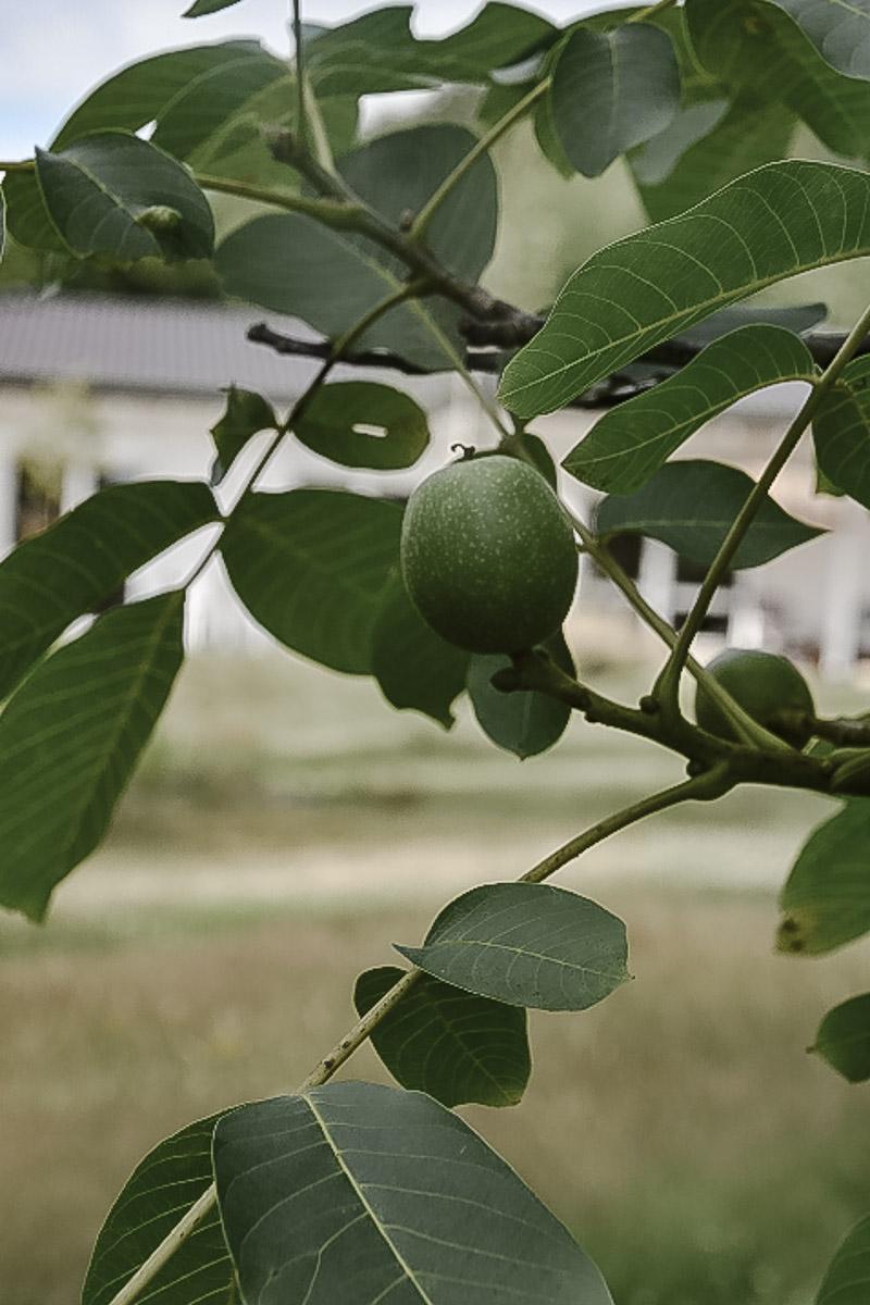 Walnussbaum im naturnahen Garten