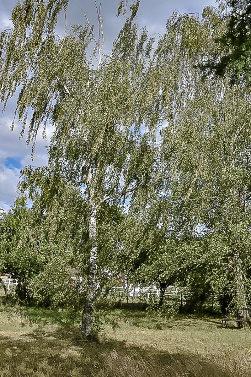 alte Birke im ursprünglichen wilden Garten