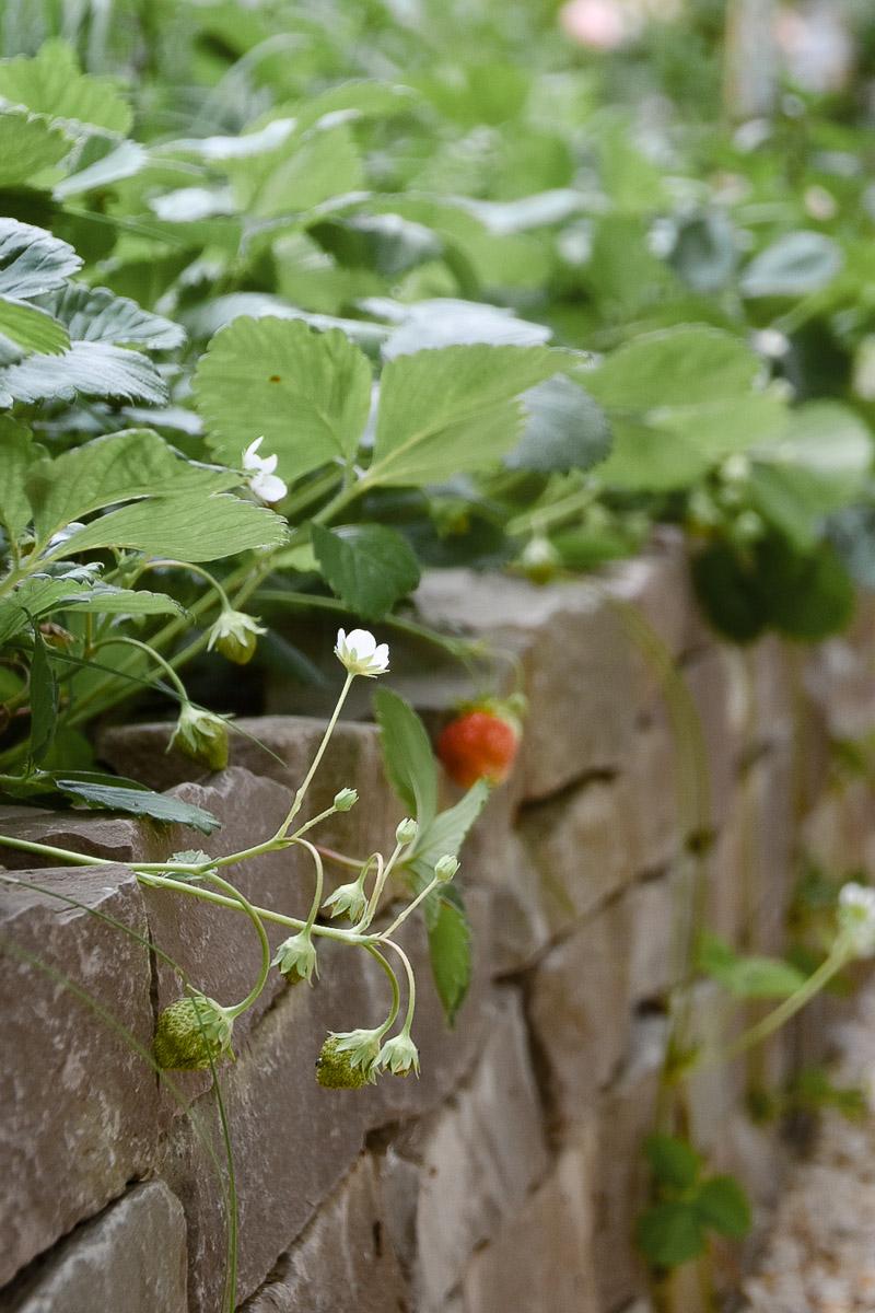 Erdbeeren Beet