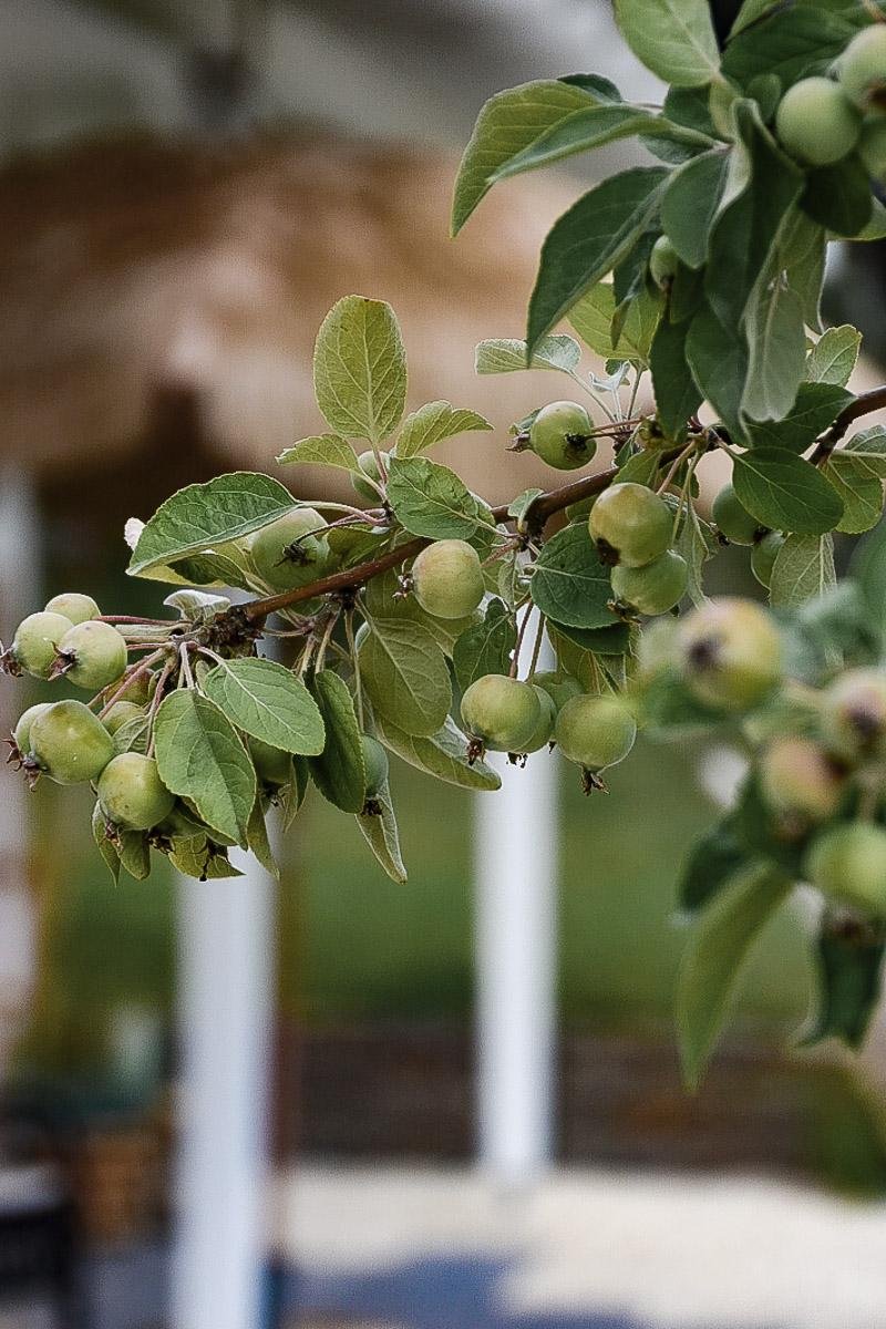 Mirabellen Baum