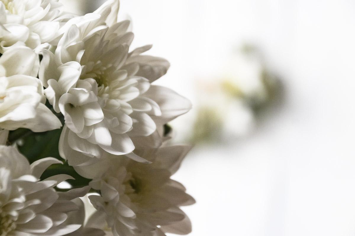 Spray-Chrysantheme Pina Colada Nahaufnahme