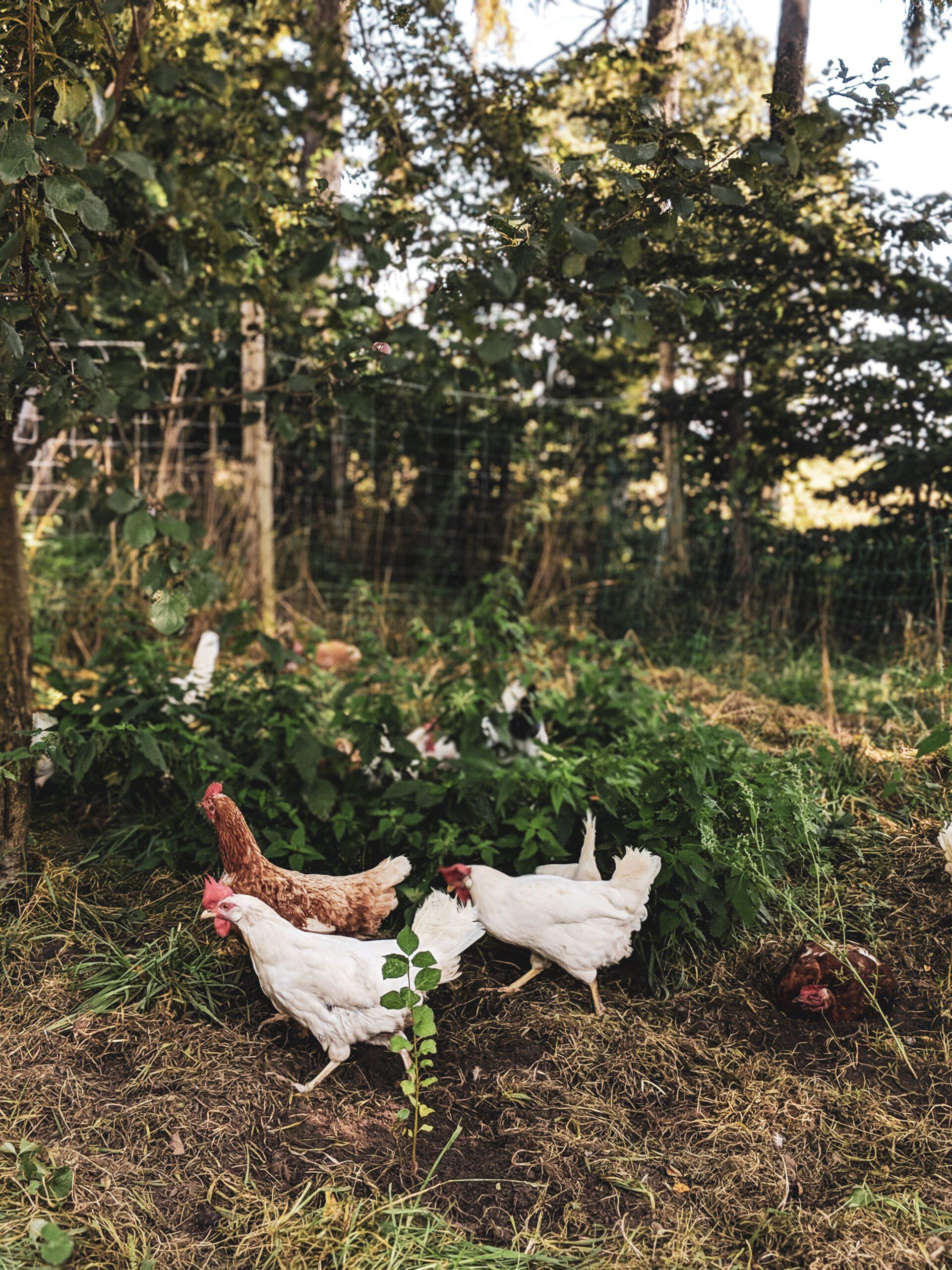 Hühner im eigenen Selbstversorger-Garten
