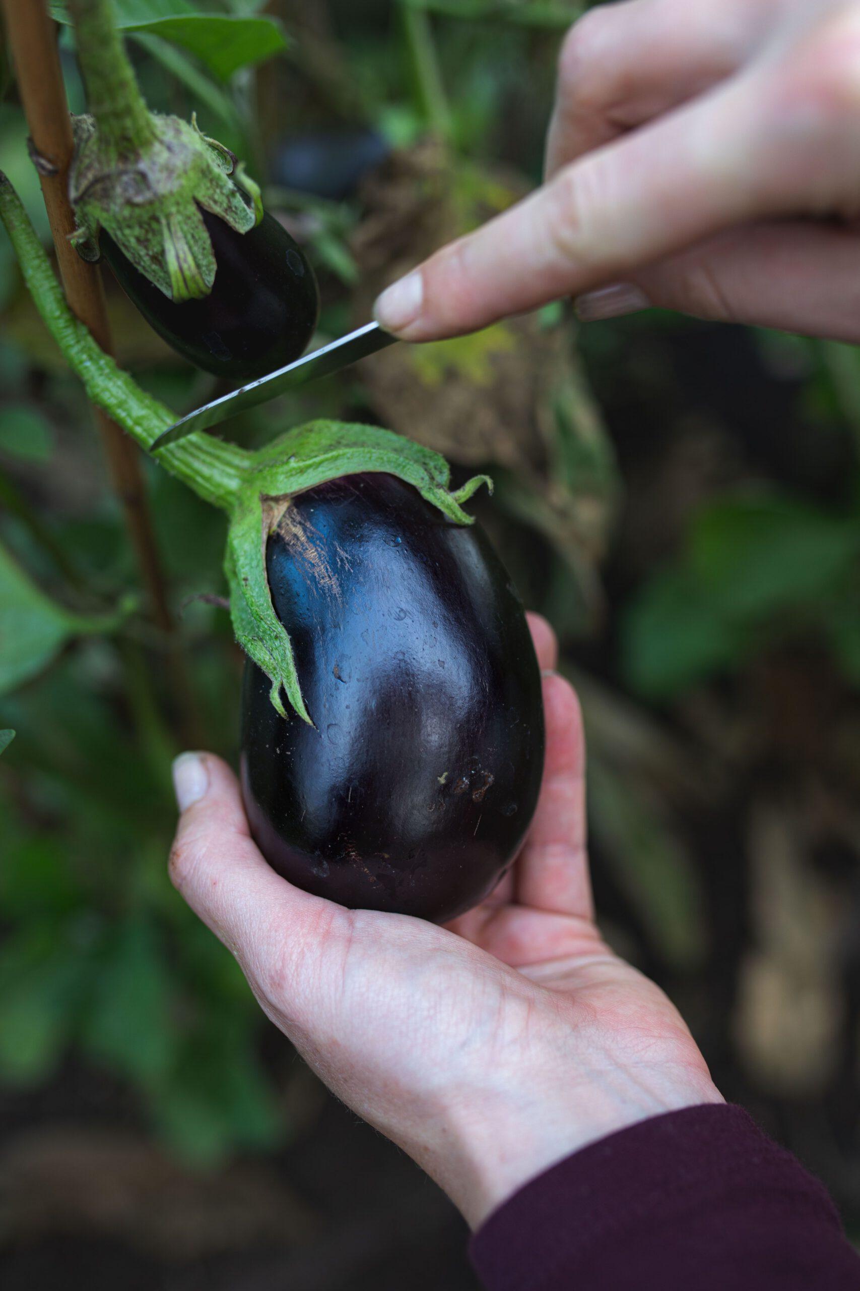Auberginen aus dem Selbstversorger-Garten