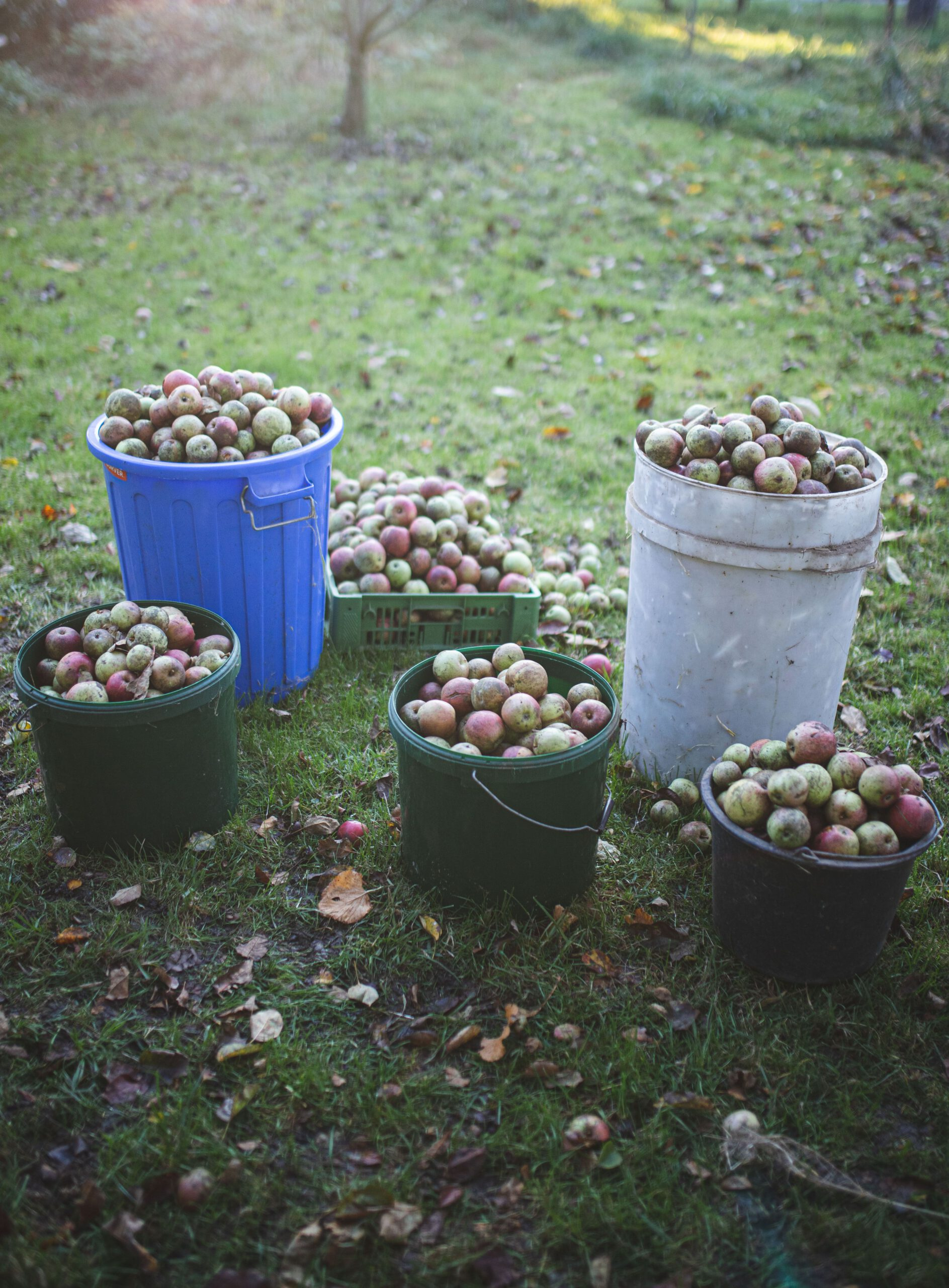 Apfelernte im Selbstversorgergarten