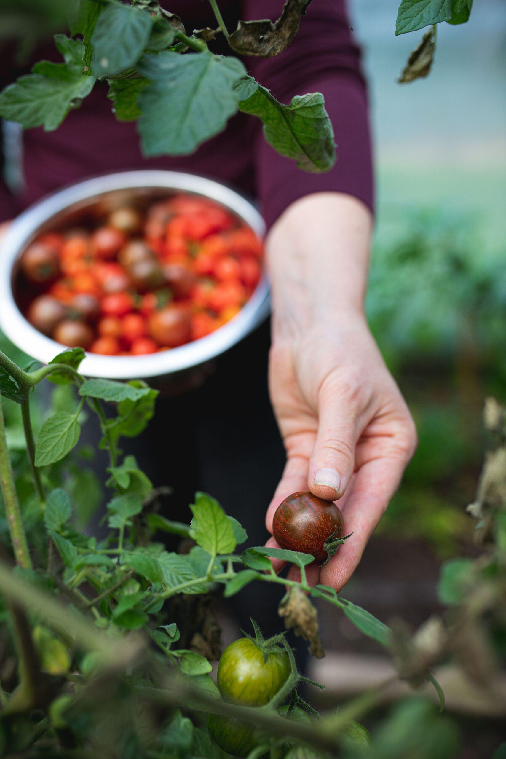 Tomaten aus dem Selbstversorgergarten