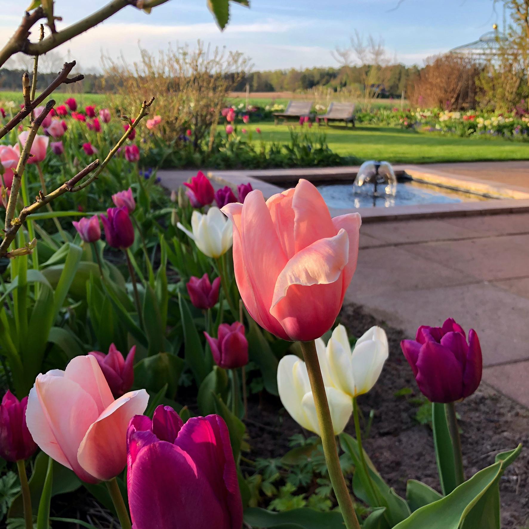 Tulpen englischer Garten
