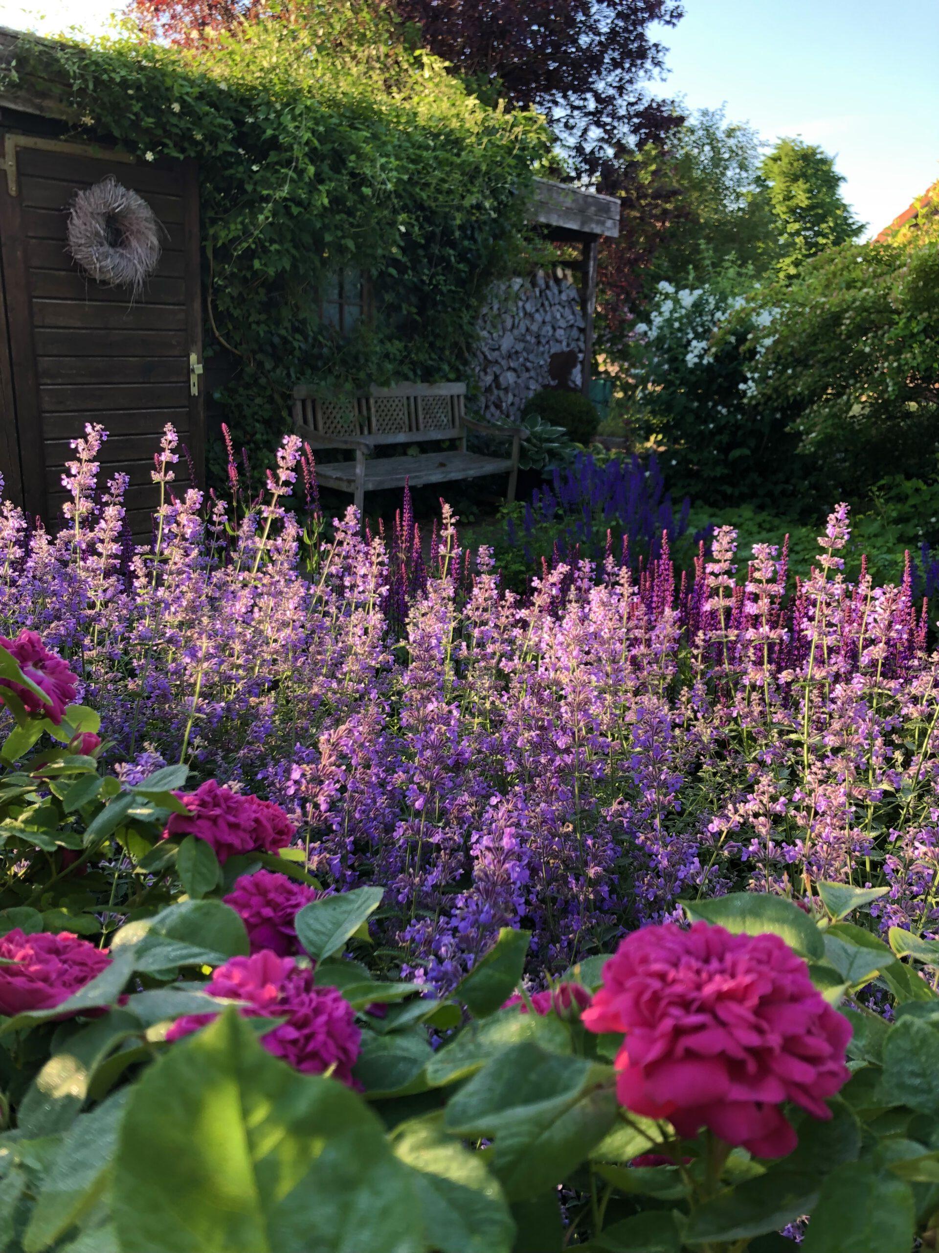 Erika Pflanze im englischen Garten